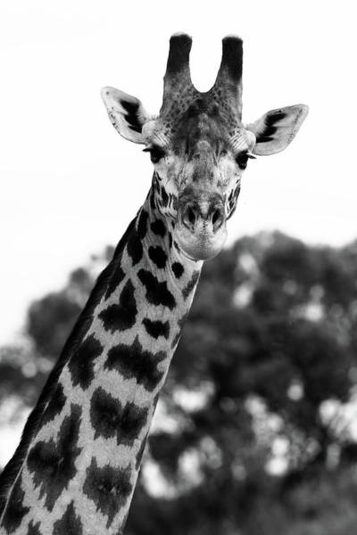 Photograph - Giraffe Portrait  by Aidan Moran