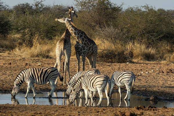 Wall Art - Photograph - Giraffes And Zebras At Waterhole by Darrell Gulin