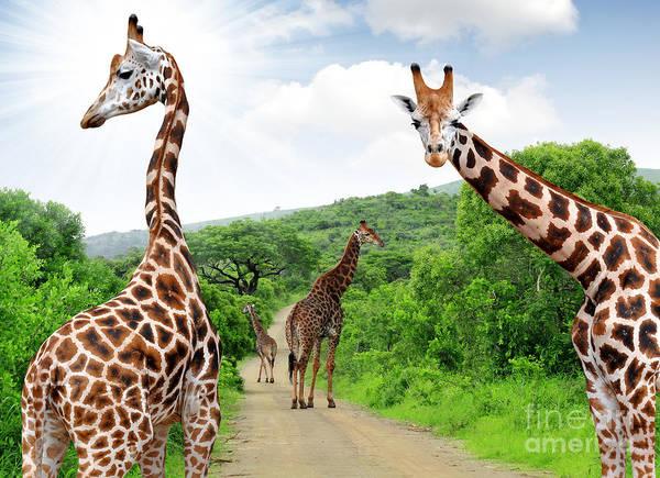 Conservation Wall Art - Photograph - Giraffes In Kruger Park South Africa by Jaroslava V