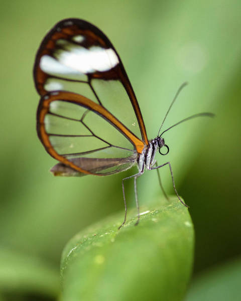 Glasswing Butterfly Jardin Botanico Del Quindio Calarca Colombia Art Print