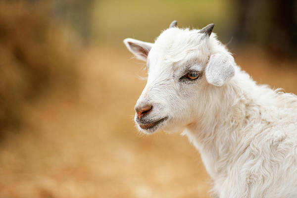 Photograph - Goat Outside During The Day by Rob D Imagery