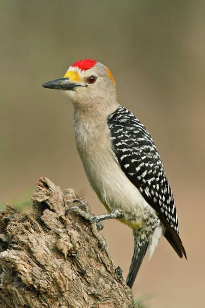 Golden-fronted Woodpecker Melanerpes Art Print