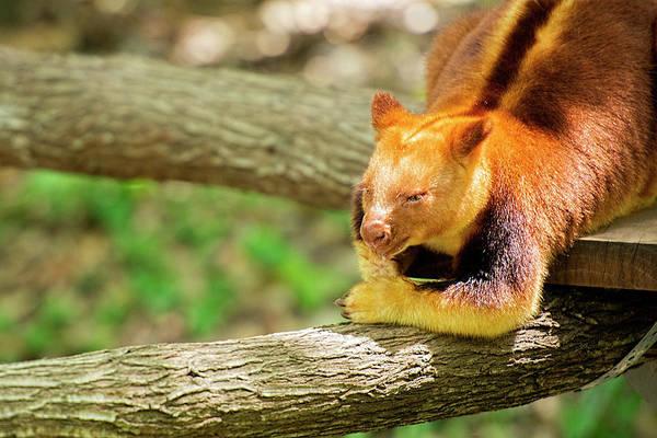 Photograph - Goodfellows Tree Kangaroo by Rob D Imagery