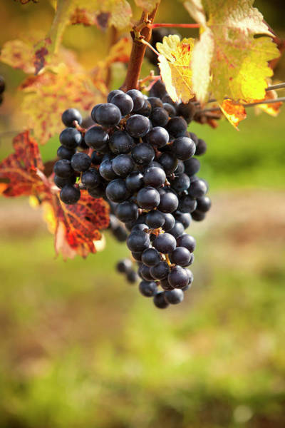 Sonoma County Photograph - Grapes On A Winery Vine by Pgiam