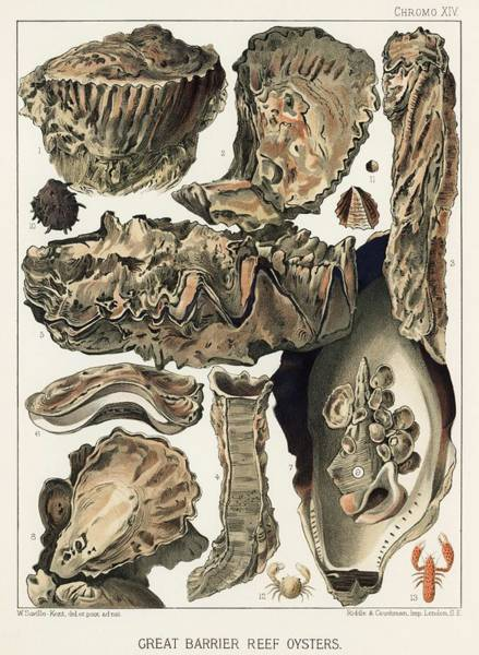 Wall Art - Painting - Great Barrier Reef Oysters From The Great Barrier Reef Of Australia 1893 By William Saville-kent  by Celestial Images