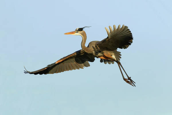 Wall Art - Photograph - Great Blue Heron Flying, Ardea by Adam Jones