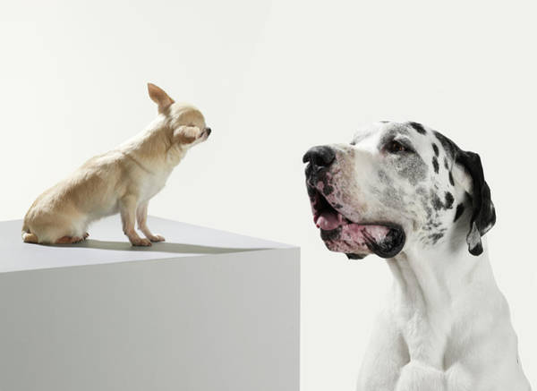 Great Dane Photograph - Great Dane And Chihuahua by Michael Blann