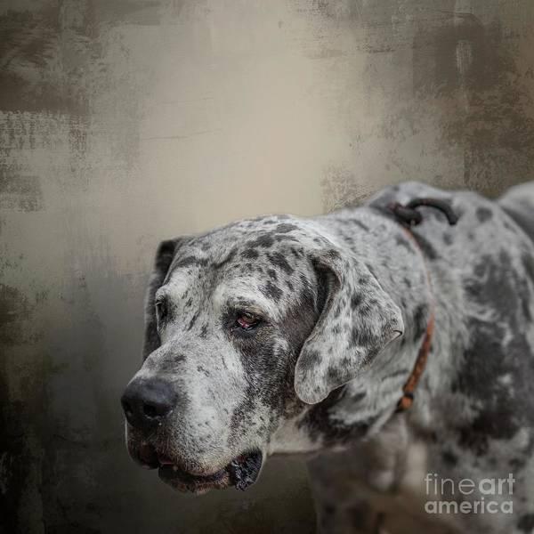 Dane Mixed Media - Great Dane Portrait by Eva Lechner