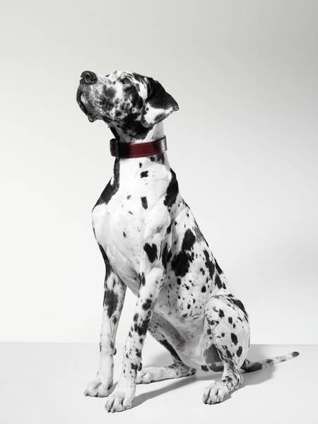 Great Dane Photograph - Great Dane, Portrait by Michael Blann