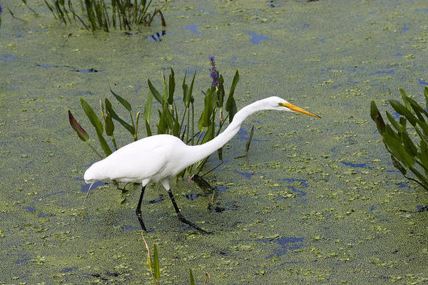 Wall Art - Photograph - Great Egret by David Hosking