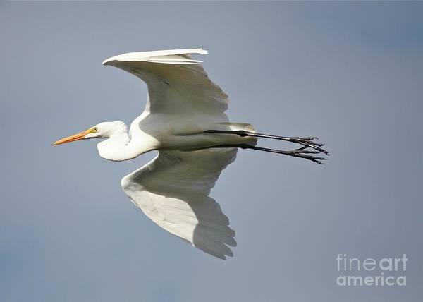 Photograph - Great Egret Flying Overhead by Carol Groenen