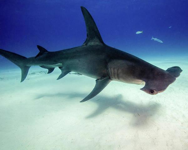 Wall Art - Photograph - Great Hammerhead Shark, Tiger Beach by Brent Barnes