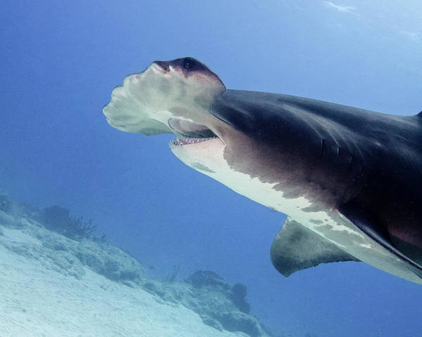 Wall Art - Photograph - Great Hammerhead Shark With Mouth Open by Brent Barnes