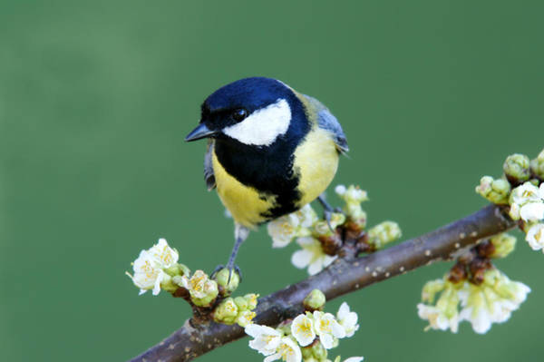Head Tilt Photograph - Great Tit On A Blossoming Twig by Schnuddel