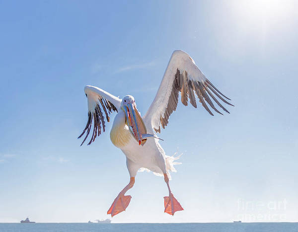 Attack Wall Art - Photograph - Great White Pelican Catches Fish Thrown by Vadim Petrakov