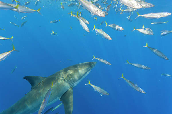 Wall Art - Photograph - Great White Shark, Large 5 Meter Female by Stuart Westmorland