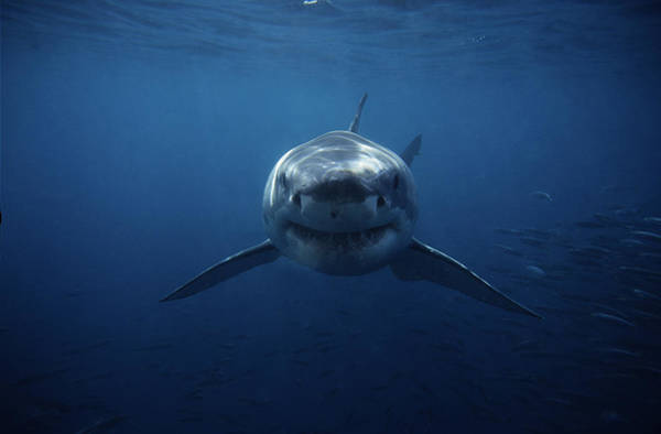 Underwater Camera Photograph - Great White Shark,carcharodon by Gerard Soury