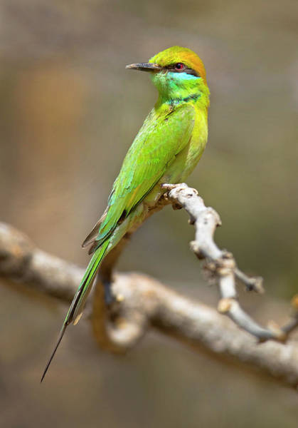 Wall Art - Photograph - Green Bee-eater Merops Orientalis by Panoramic Images