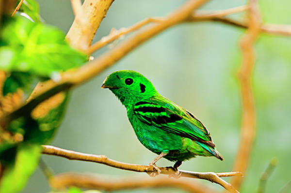 Green Broadbill Art Print by By Ken Ilio
