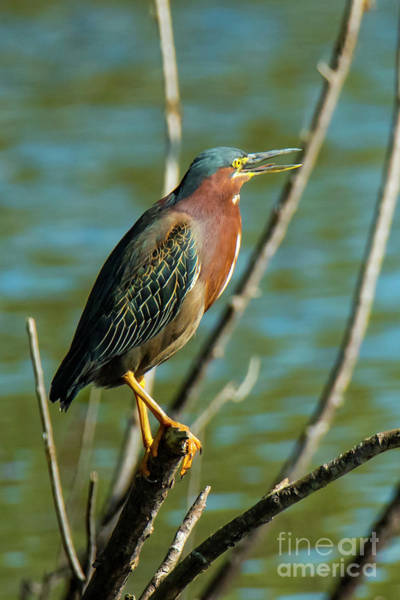 Photograph - Green Heron by Michael D Miller