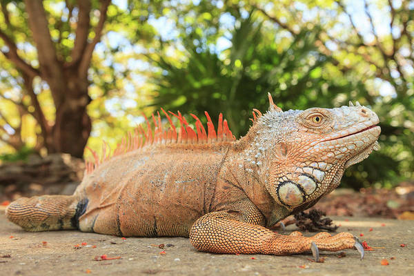 Wall Art - Photograph - Green Iguana Farm, East End Of Roatan by Stuart Westmorland