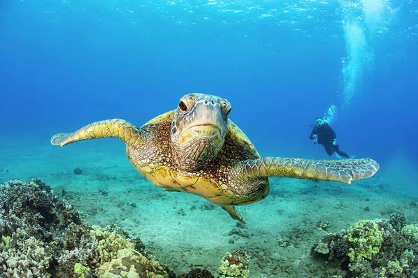 Wall Art - Photograph - Green Sea Turtle  Chelonia Midas by Dave Fleetham