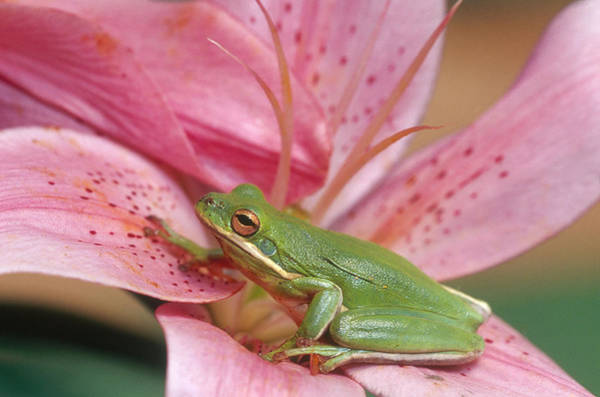 Wall Art - Photograph - Green Tree Frog by Michael Lustbader