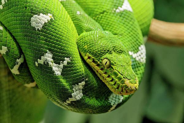 Green Tree Python, Native To New Guinea Art Print