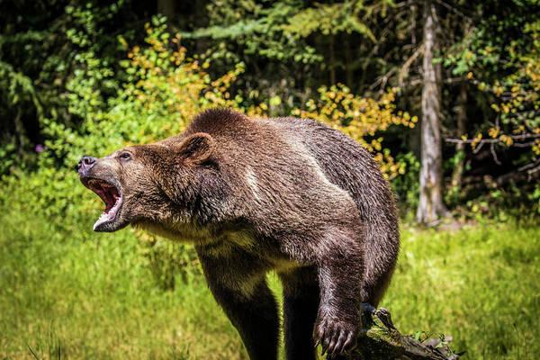 Wall Art - Photograph - Grizzly Bear, Montana Wildlife by Yitzi Kessock