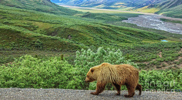 Wall Art - Photograph - Grizzly Bear by Robert Bales