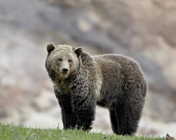 Grizzly Bears Photograph - Grizzly Bear, Ursus Arctos Horribilis by James Hager / Robertharding