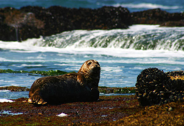 Photograph - Harbor Seal by Anthony Jones