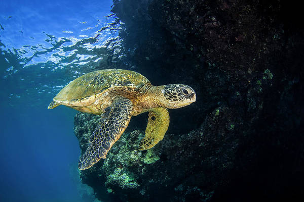 Wall Art - Photograph - Hawaiian Green Sea Turtle  Chelonia by Jenna Szerlag
