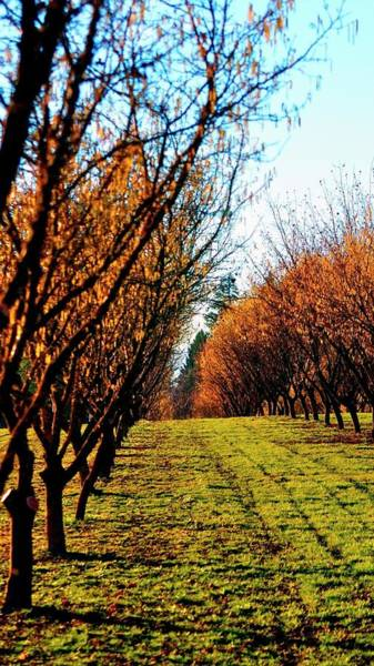 Photograph - Hazelnut Orchard 21578 by Jerry Sodorff