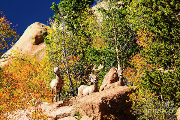 Photograph - Herd Of Bighorn Sheep by Steve Krull
