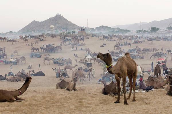 c33477130c Indian Camel Wall Art - Photograph - Herd Of Camels In A Fair, Pushkar Camel