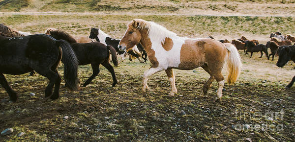 Photograph - Herd Of Lovely Icelandic Horses Riding Towards The Meeting At The Farm by Joaquin Corbalan