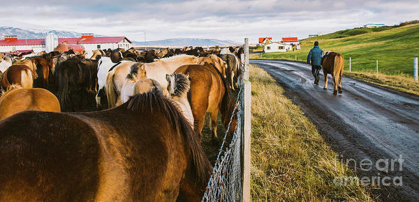 Photograph - Herd Of Precious Icelandic Horses Gathered In A Farm. by Joaquin Corbalan
