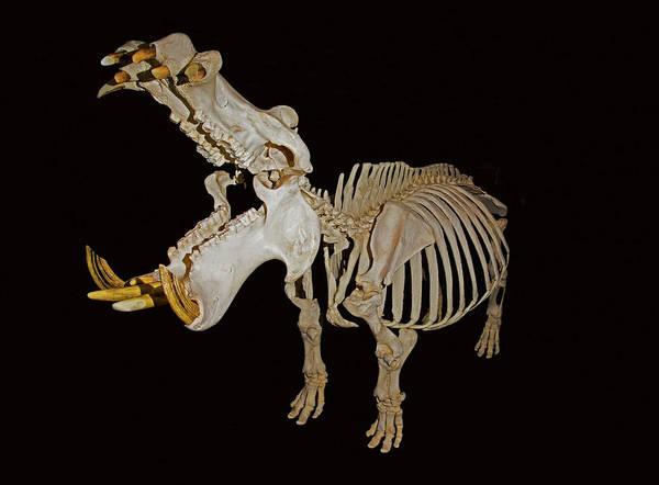 Wall Art - Photograph - Hippopotamus Skeleton by Millard H. Sharp