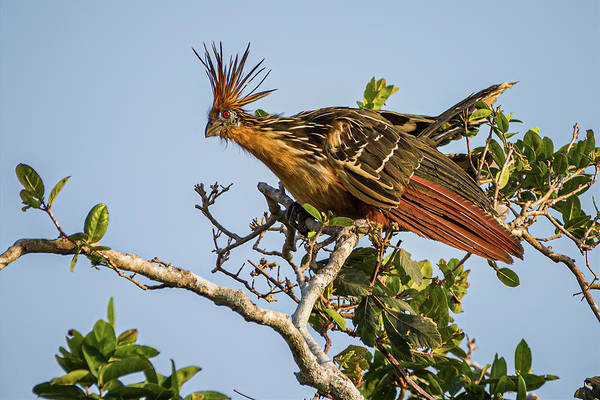 Photograph - Hoatzin Hato Berlin Casanare Colombia by Adam Rainoff