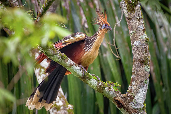 Photograph - Hoatzin La Fortuna Yopal Casanare Colombia by Adam Rainoff