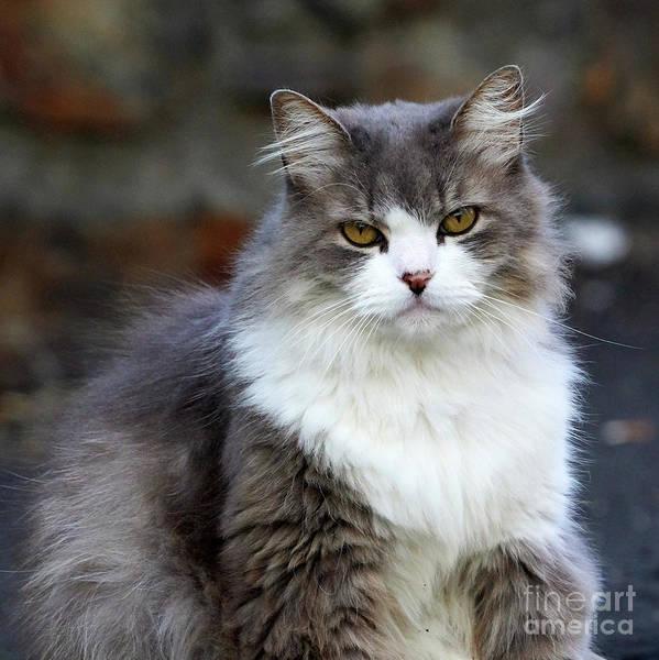 Photograph - Honey Eyed Gray And White Long Hair Cat by Pablo Avanzini