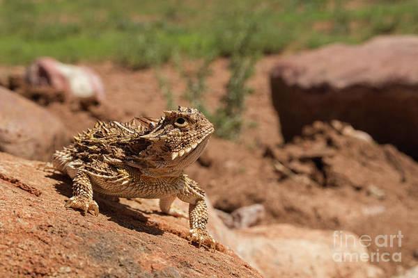 Photograph - Horned Lizard by David Cutts