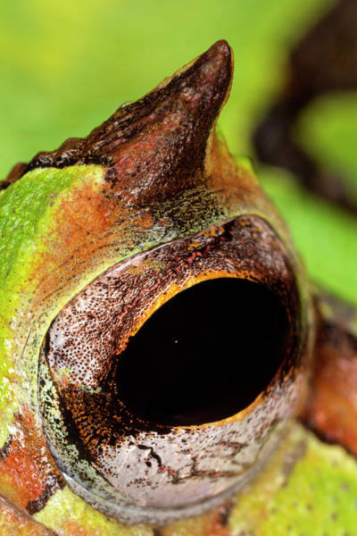 Wall Art - Photograph - Horned Pac-man Frog Close-up by Adam Jones