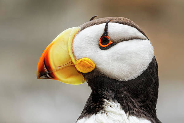 Wall Art - Photograph - Horned Puffin, Fratercula Corniculata by Adam Jones