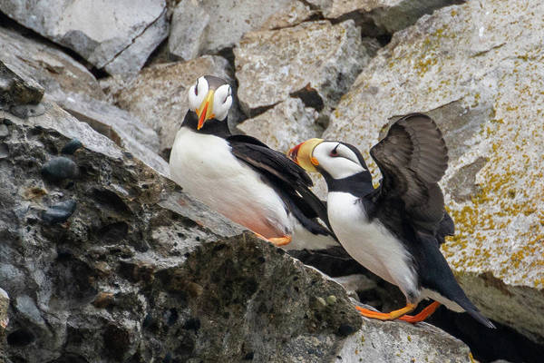 Photograph - Horned Puffin Pair 2 by Mark Hunter