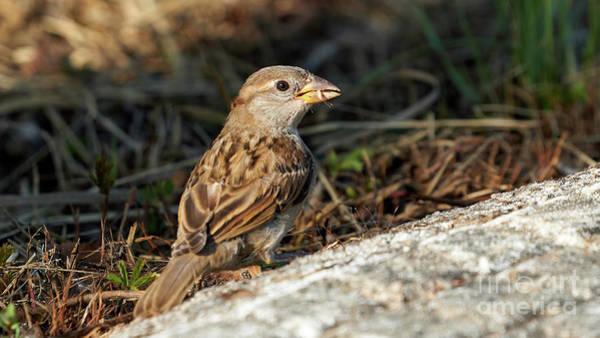 Photograph - House Sparrow Female Standing by Pablo Avanzini