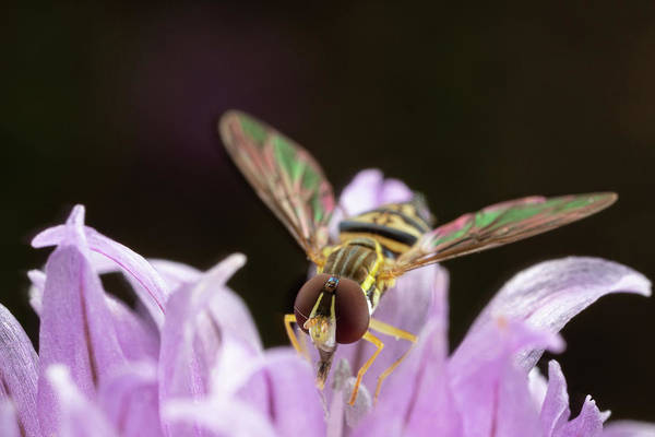 Photograph - Hoverfly  by Brian Hale