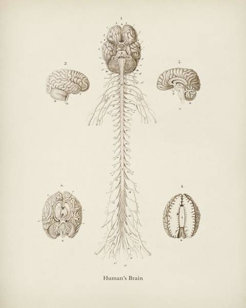 Brain Painting - Human S Brain Illustrated By Charles Dessalines  D Orbigny  1806 1876  by Celestial Images