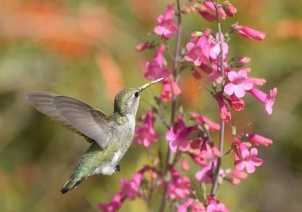 Photograph - Hummingbird Buffet by Fraida Gutovich
